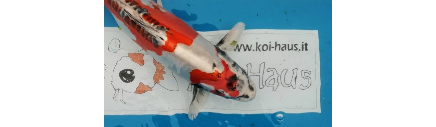 KOI HIGH QUALITY